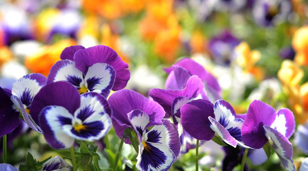 Pansies Cool Weather Annuals