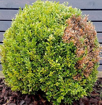 Boxwood Damage