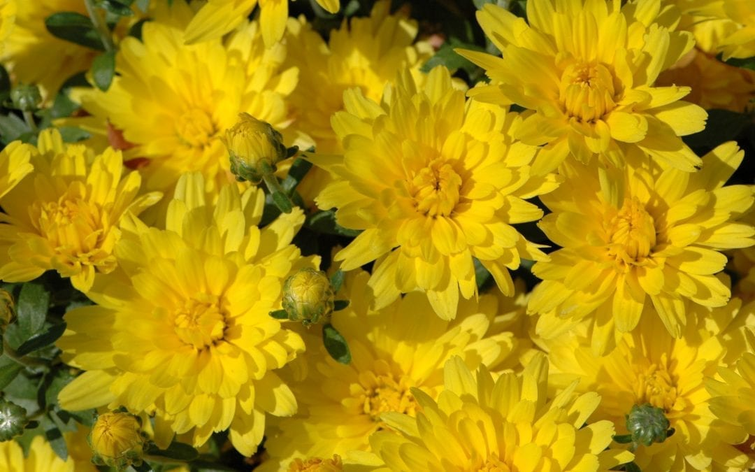 When to Plant Mums in the Chicagoland Area