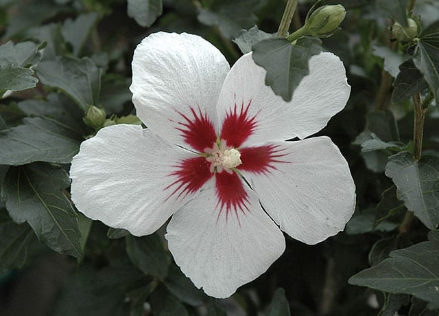 white with red center rose of sharon