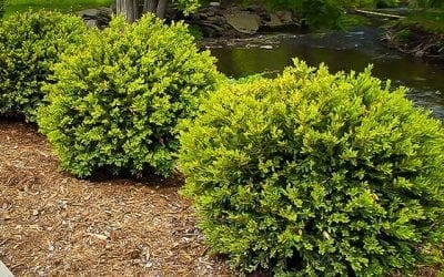Protecting your Boxwoods from the Cold