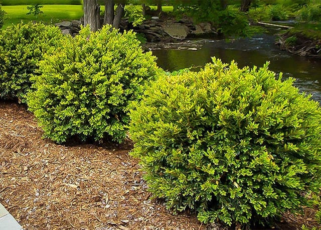 Boxwoods mulched into the landscape