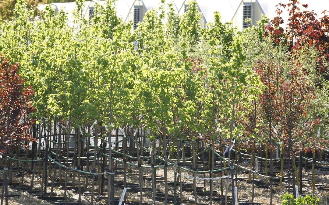 Shade trees in pots for landscape supply