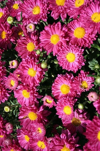 pink mum with yellow button center