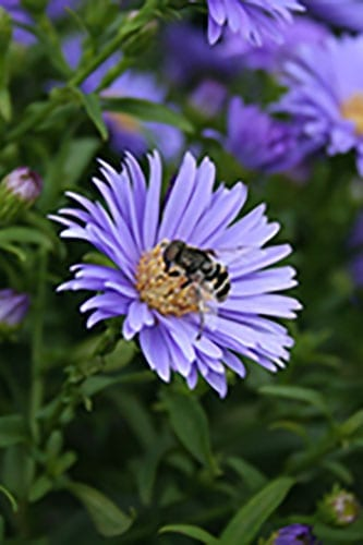 Bee on a purple aster