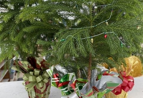 Norfolk pine, Chirstmas treee, kid activity, near me
