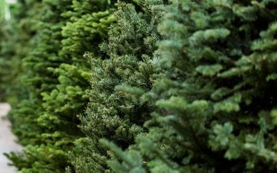 Selecting the perfect fresh-cut Christmas tree