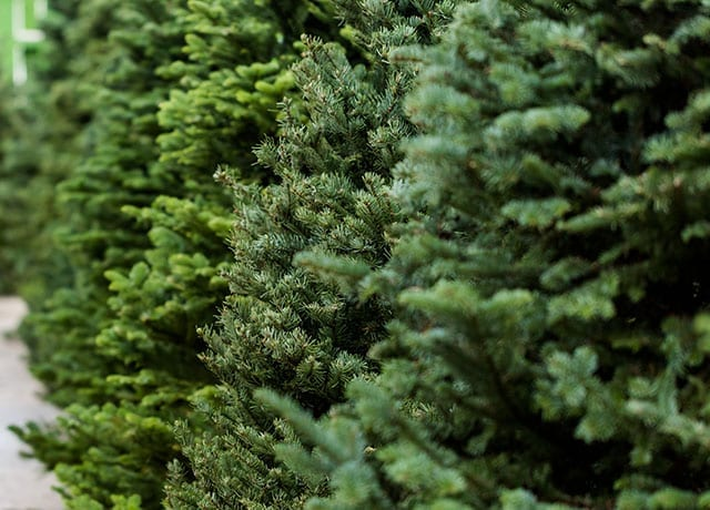 Fresh-cut Christmas trees in a line