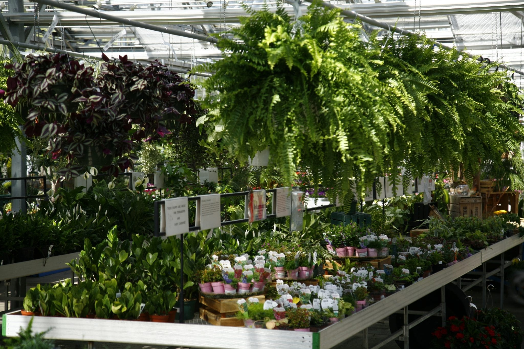 Hanging ferns in greenhouse