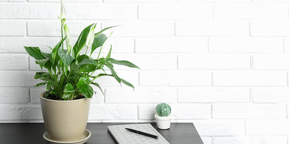 new-year-new-houseplants-peace-lily-on-desk
