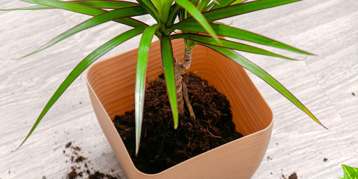 repotting-houseplants-explained-tropical-plant-in-large-pot-from-above