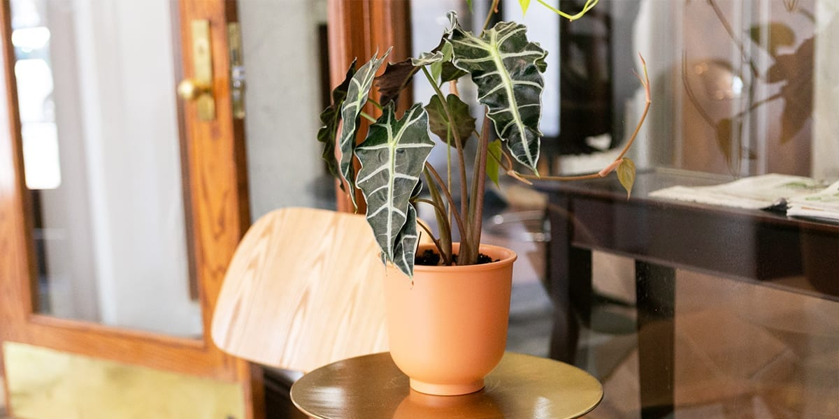terracotta-vs-ceramic-which-is-better-plant-in-terracotta-pot-outdoors