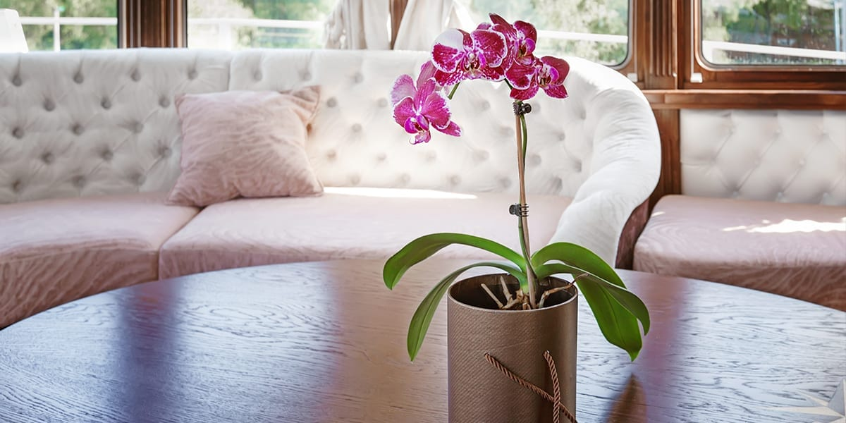 caring-for-orchids-pink-orchid-on-table-in-cabin