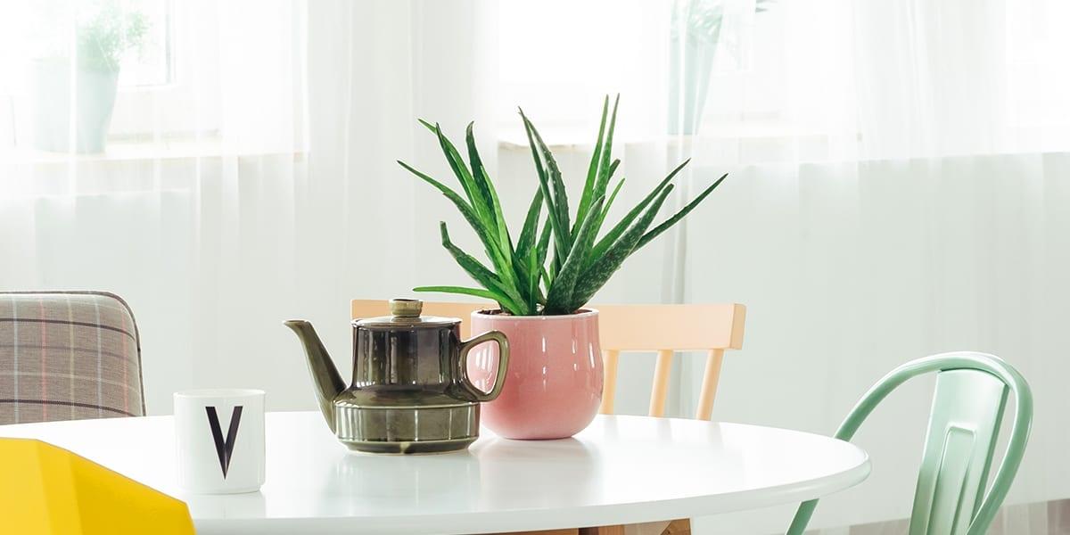 houseplants-for-sunny-windows-aloe-plant-on-table