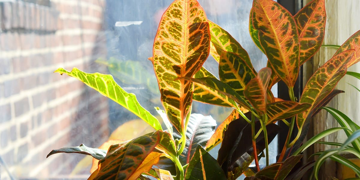 houseplants-for-sunny-windows-croton-plant-in-sunny-window