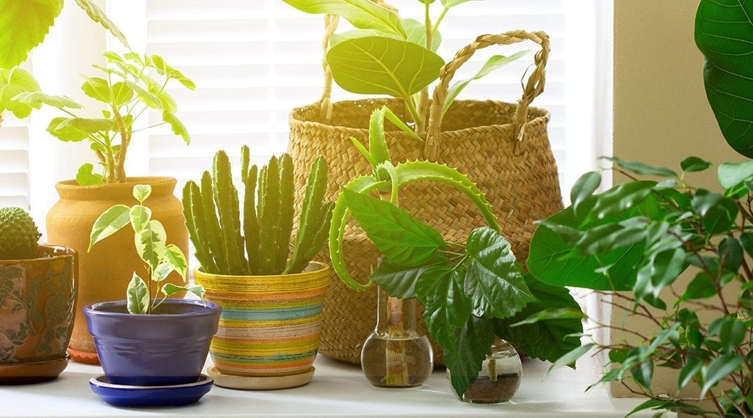 6 Houseplants for Hot, Sunny Windows