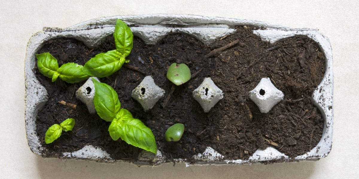 kid-friendly-edible-gardening-basil-growing-in-egg-carton