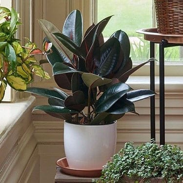 rubber plant ficus houseplant to promote healthy living