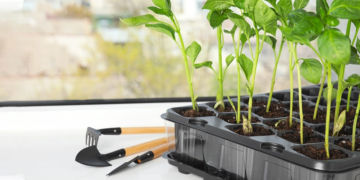 seed-starting-guide-seedlings-in-tray-windowsill