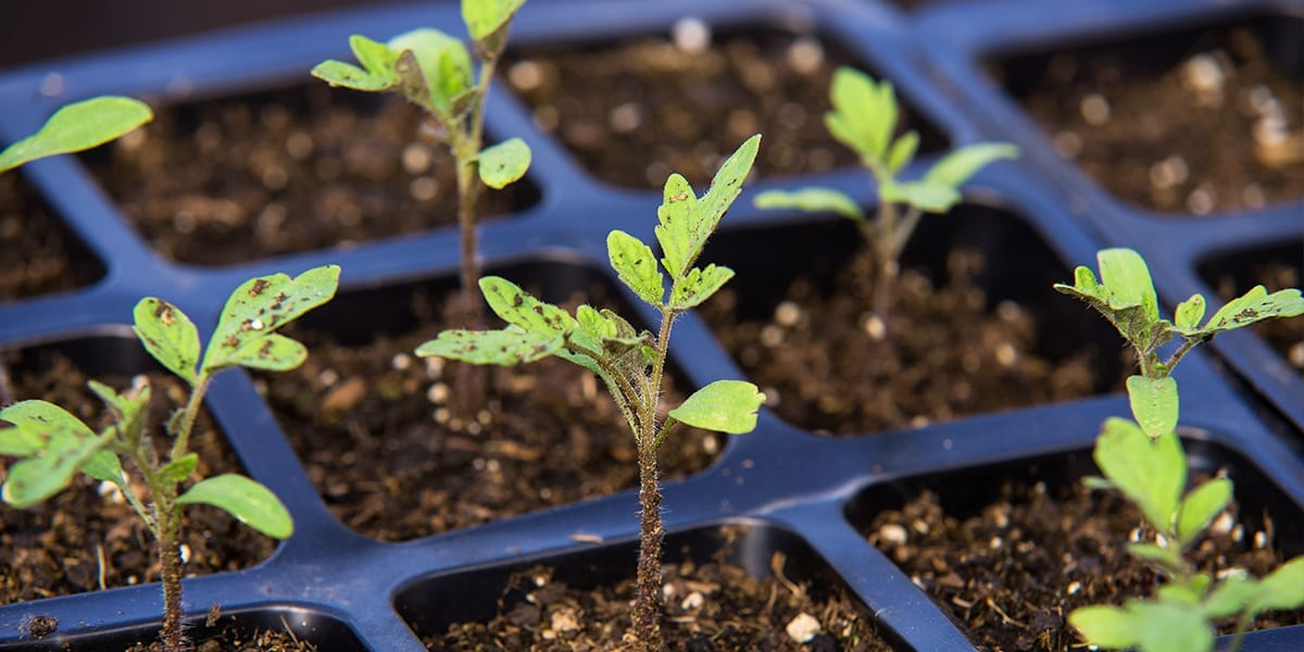 seed-starting-guide-seedlings-in-tray