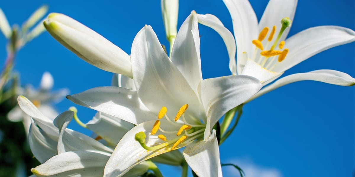 easter-lily-care-easter-lily-in-sunny-garden-up-close