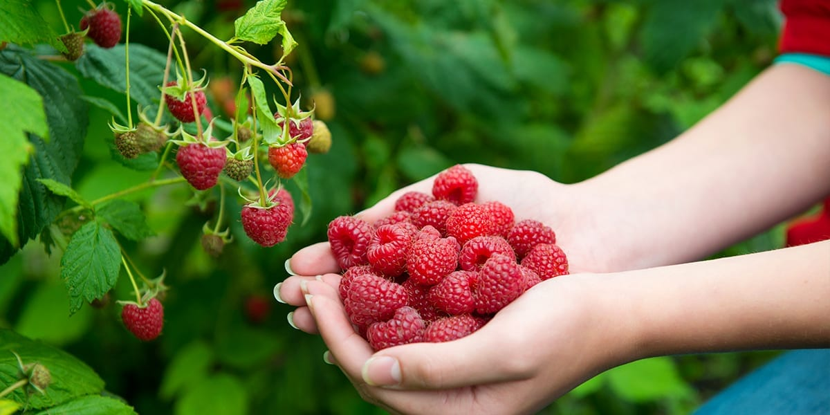 berry-shrubs-raspberries