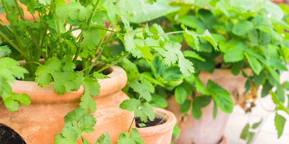 outdoor-kitchen-edible-planters-terracotta-herb-planter-up-close