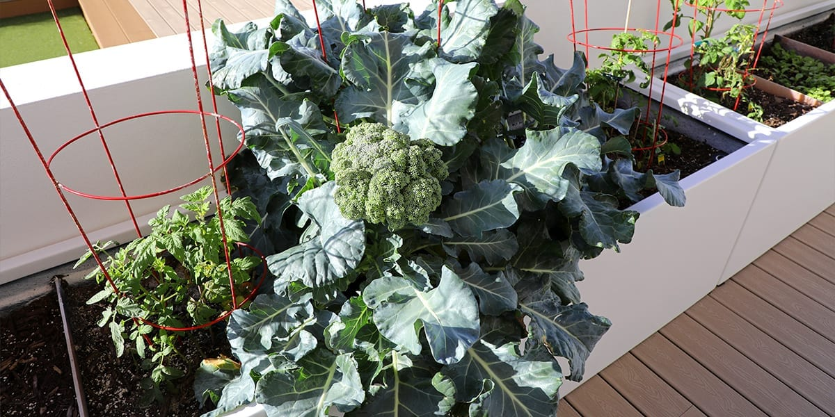 outdoor-kitchen-edible-planters-white-vegetable-planters-broccoli