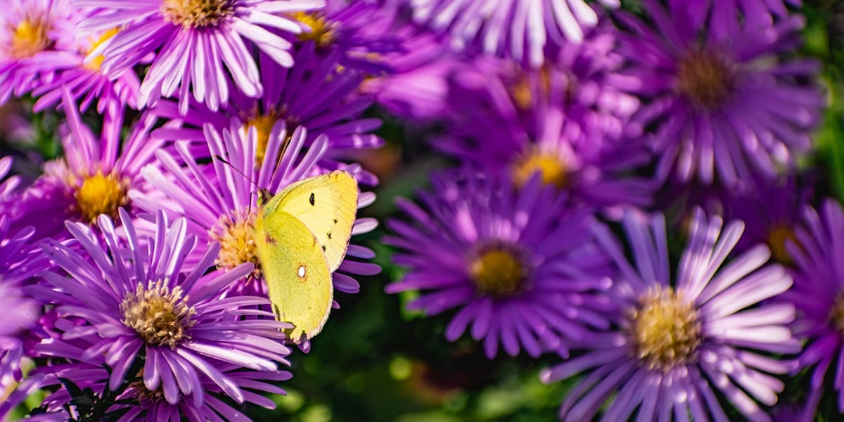 pollinators-butterflies-asters-light-butterfly