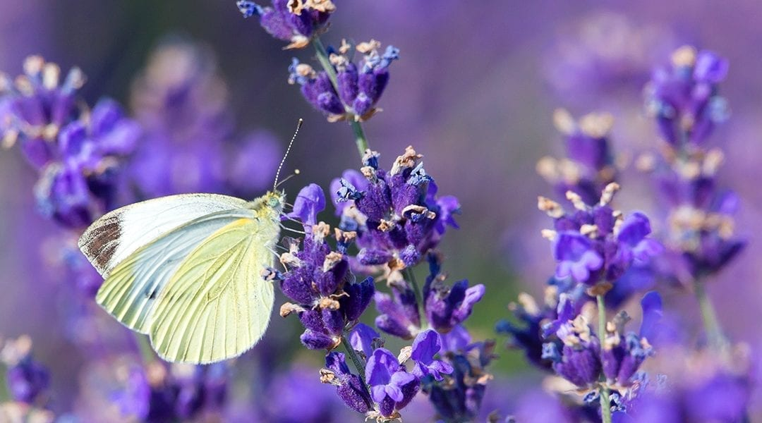 Pollinator Plants that Butterflies Love