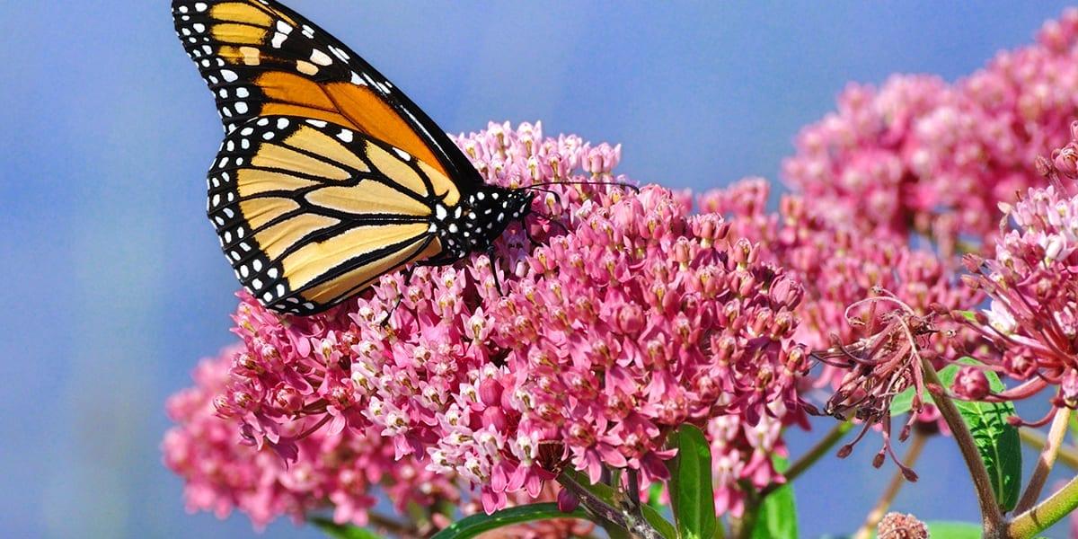pollinators-butterflies-monarch-butterfly-milkweed
