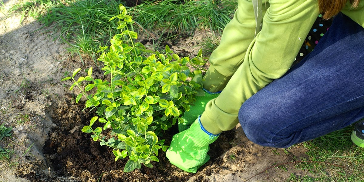 dad-DIY-landscaping-shrub-planting-platt-hill