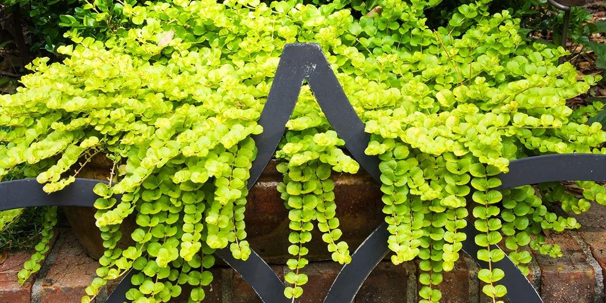 design-essentials-container-gardening-creeping-jenny