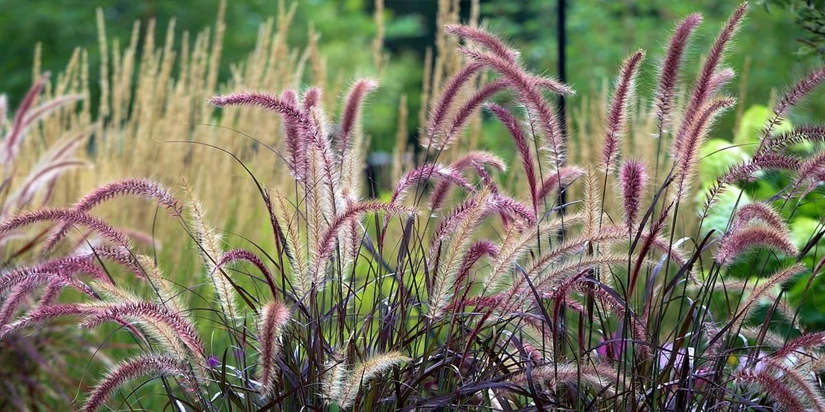 design-essentials-container-gardening-purple-fountain-grass