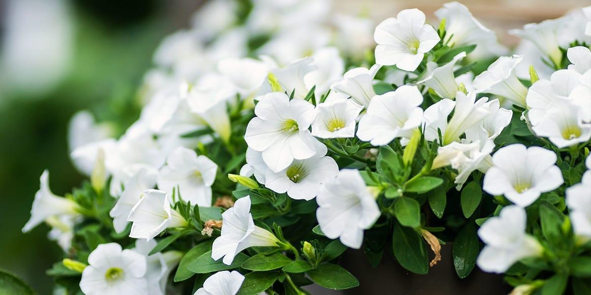 design-essentials-container-gardening-white-petunia