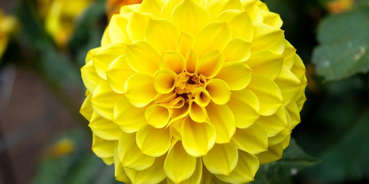 design-essentials-container-gardening-yellow-dahlia