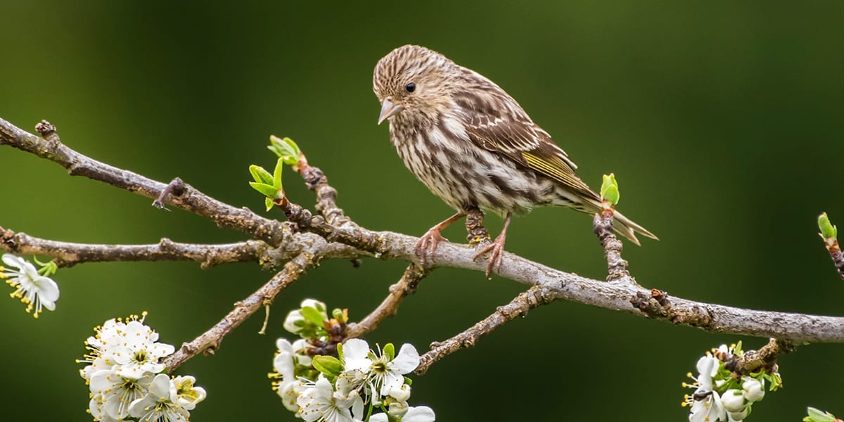 gardening-birds-platt-hill-pine-siskin