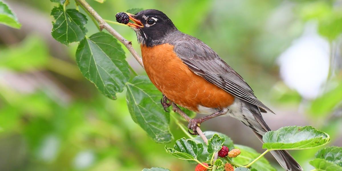 gardening-birds-platt-hill-robin