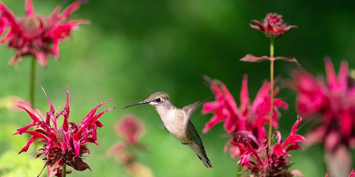 hummingbird-friends-ideas-for-kids-bee-balm-flower