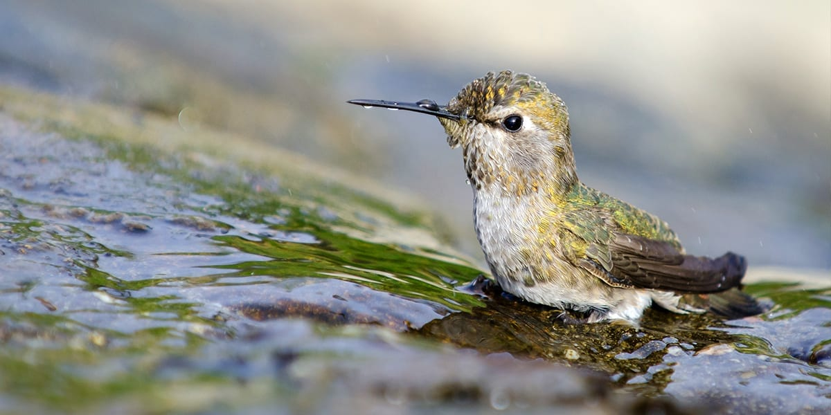 hummingbird-friends-ideas-for-kids-hummingbird-bath