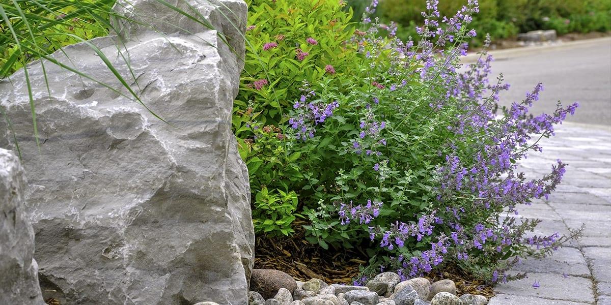 perennials-zone-5-platt-hill-catmint