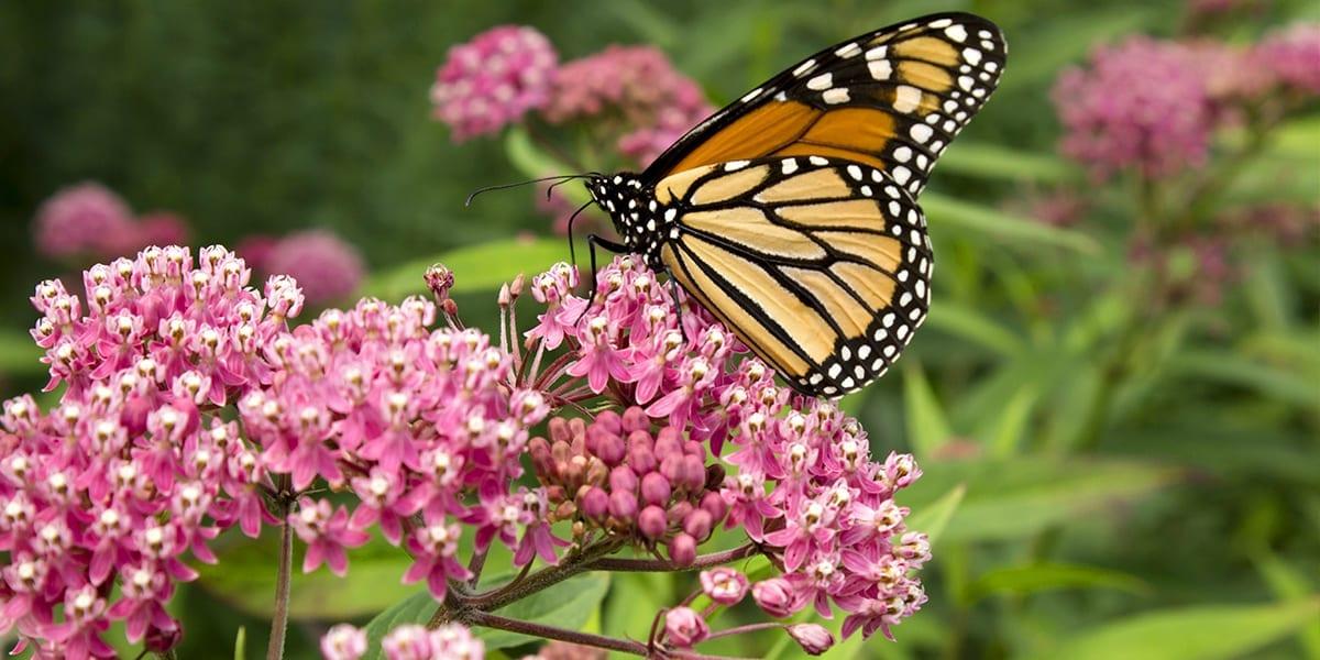 perennials-zone-5-platt-hill-milkweed-butterfly