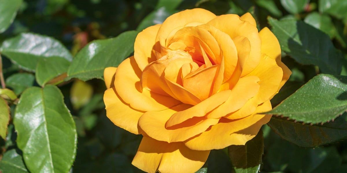 rose-month-platt-hill-julia-child-rose