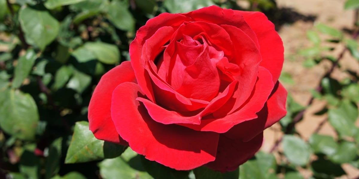 rose-month-platt-hill-red-rose
