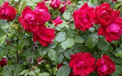 June is Rose Month!