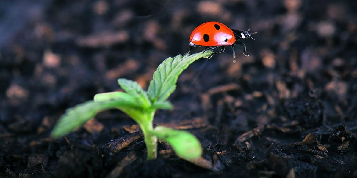 smart-ways-to-prevent-pests-disease-good-ladybug-leaf