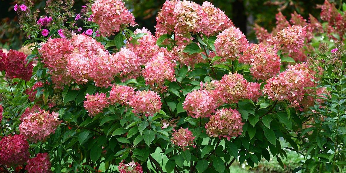 platt-hill-favorite-hydrangeas-little-quickfire-pink