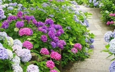 Our 5 Favorite Hydrangeas