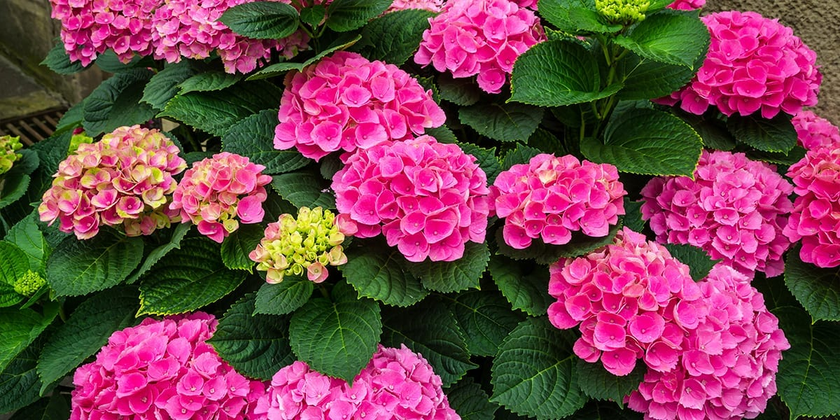 platt-hill-favorite-hydrangeas-summer-crush-pink
