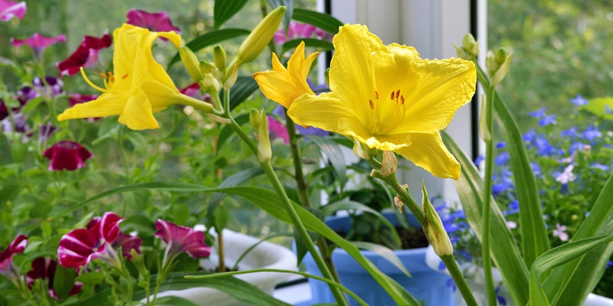 shrubs-perennials-summer-platt-hill-daylily-balcony
